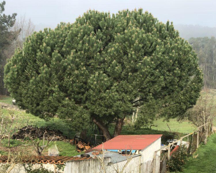 Pijnboom